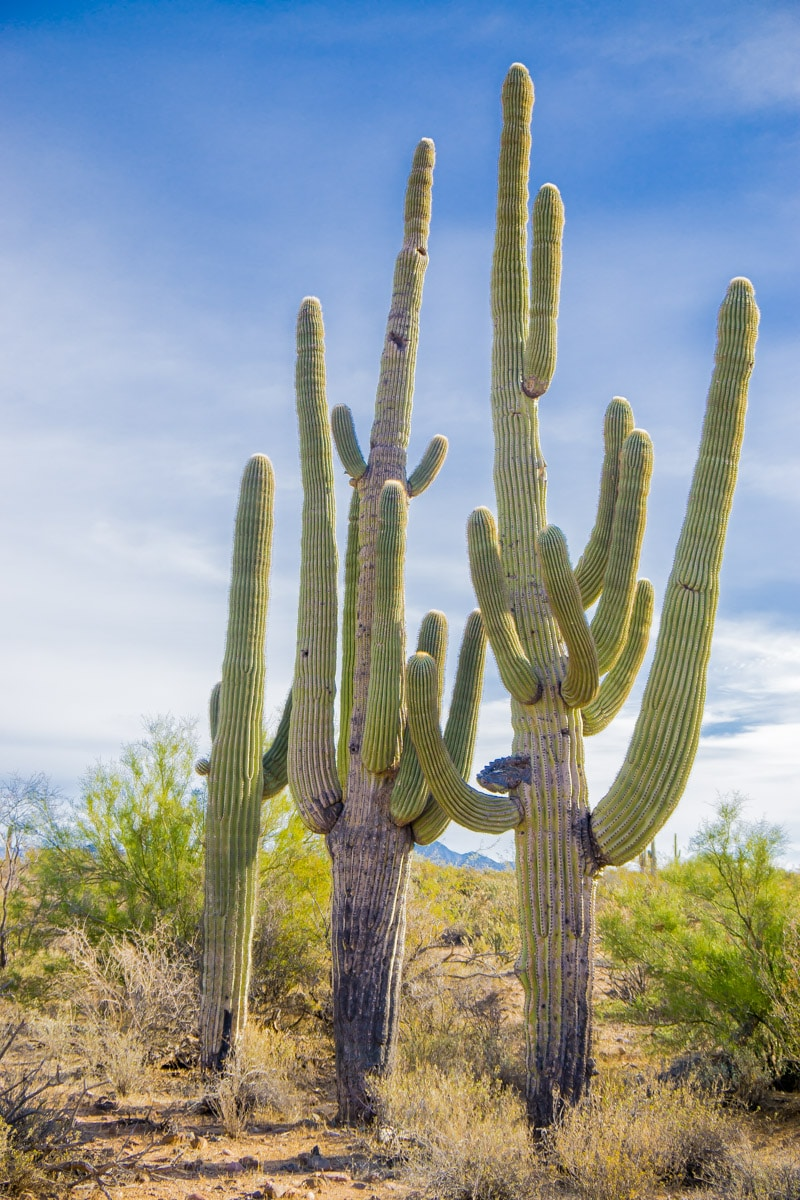 Cacti seen on the Fort Mcdowell adventures